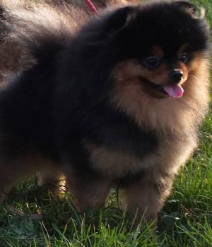 Black and tan pomeranian-Herbi