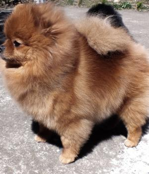 Ruby-orange sable pomeranian