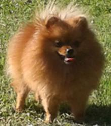Pomeranian  Kennel  Manicheta -Daris,1,5 years